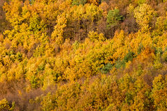 Texture of colorful fall forest with golden leaves Stock Images