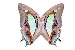 Texture of common nawab butterfliy wings Royalty Free Stock Photos