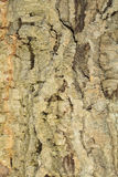 Texture of cork tree bark Royalty Free Stock Photography