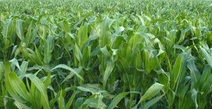 Texture of corn field Stock Photos