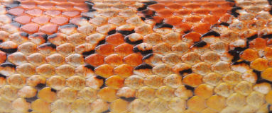 Texture is a Corn snake Royalty Free Stock Image
