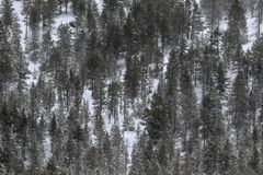Snowed pines. A texture is created by seeing the snow-capped pines from a distance, the freshness of a snowy morning transforms the landscape into something Royalty Free Stock Photo