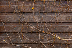 Texture of creeping plant growing on old wooden fence Royalty Free Stock Image