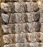 Texture crocodile skin Stock Image