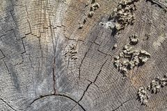 Texture of a cross cut tree Stock Photo