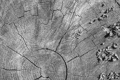 Texture of a cross cut tree monochrome tone Stock Photos