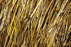 Texture of culm straw Stock Photo