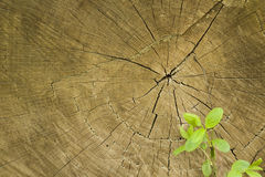 Texture The cut oak tree Royalty Free Stock Images