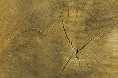 Texture The cut oak tree Royalty Free Stock Photos
