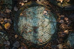 Texture cut of tree. The stump on the ground is covered with pine needles and leaves. royalty free stock photography