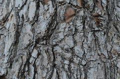 Texture d'écorce Photo libre de droits