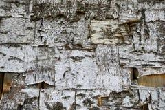 Texture d'écorce d'arbre de bouleau Photos stock