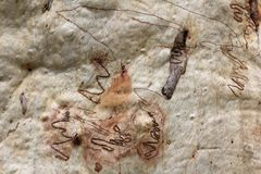 Texture d'écorce d'arbre de gomme de Scribbly Image stock