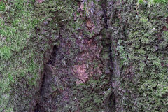 Texture d'écorce d'arbre Images libres de droits