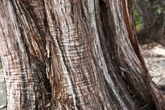 Texture d'écorce d'arbre Photographie stock