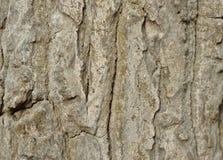 Texture d'écorce d'arbre, texture de fond d'écorce, Images stock