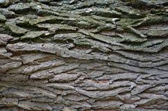 Texture d'écorce de bois Image stock