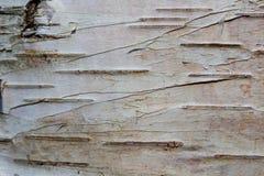 Texture d'écorce de bouleau photo stock