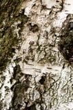 Texture d'écorce de bouleau Photos libres de droits