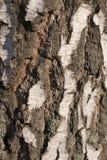 Texture d'écorce de bouleau Photos stock