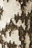 Texture d'écorce de bouleau blanc Photo libre de droits