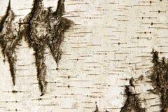 Texture d'écorce de bouleau blanc Photographie stock libre de droits
