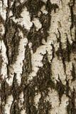 Texture d'écorce de bouleau blanc Photographie stock