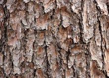Texture d'écorce de cèdre Image stock