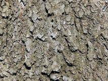 Texture d'écorce de cerisier Photos stock