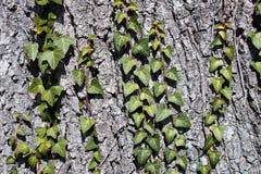Texture d'écorce de pin avec le beau modèle avec le lierre photographie stock