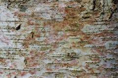 Texture d'écorce de sapin photo stock