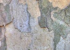 Texture d'écorce de sycomore Image stock