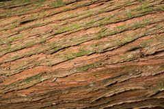 Texture d'écorce de Totara Image stock