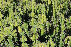 Texture d'épine de cactus photo libre de droits