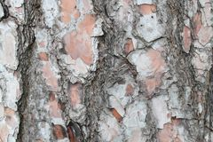 Texture d'épluchage d'écorce de pin Images libres de droits