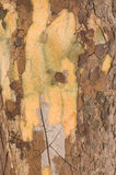 Texture d'arbre Photographie stock libre de droits