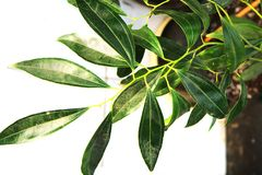 texture d'arbre de cannelle Photo stock