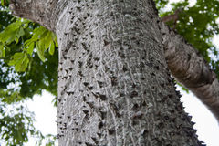 Texture d'arbre de Ceiba Photos libres de droits