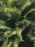 Texture d'arbre de fougère Image stock