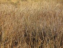 Texture d'or de fond de prairie Photographie stock