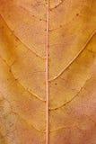 Texture d'or de lame d'érable Images stock