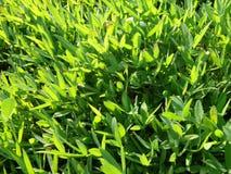 Texture d'herbe Photos libres de droits