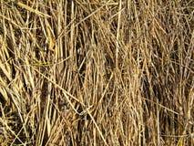 Texture d'herbe sèche Image libre de droits