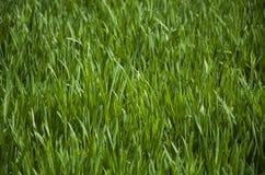 Texture d'herbe verte Photo stock