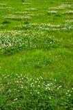 Texture d'herbe verte d'un champ Photos libres de droits