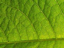 Texture d'Ivy Leaf pourpre Images stock