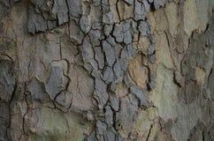 Texture d'un arbre Image libre de droits