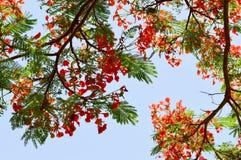 Texture d'un bel arbre d'usine de Delonix avec les fleurs peu communes rouges avec des pétales et des feuilles vertes fraîches en photographie stock