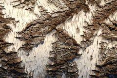 Texture d'un bouleau Image libre de droits
