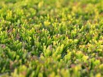 Texture d'un buisson vert sans à-coup équilibré de cyprès images stock